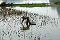 Riziculture à Tam Coc (1).jpg