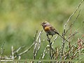 Robin Accentor (Prunella rubeculoides) (37129007693).jpg