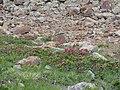 Rododendri, val d'ultimo - panoramio.jpg