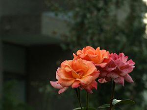 Rosa chinensis - Image: Rosa chinensis