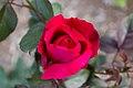 Rosa 'Mister Lincoln' IMG 0179.jpg