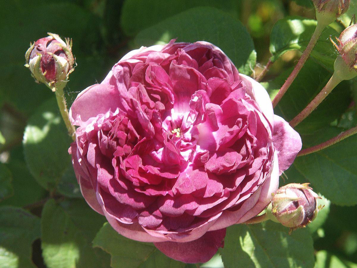 Rosa Cardinal De Richelieu Wikimedia Commons