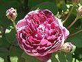 Rosa Cardinal de richelieu110606.jpg
