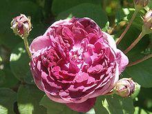 rose fleur wikip dia. Black Bedroom Furniture Sets. Home Design Ideas