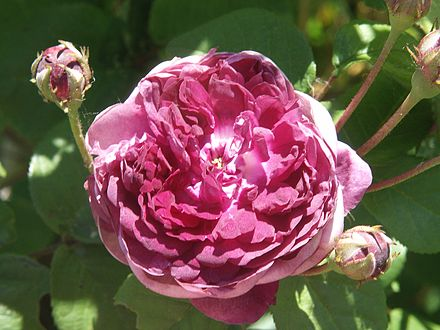 rose (fleur) - wikiwand
