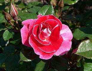 Rosa Old Master 2.jpg