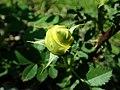 Rosa Persian Yellow 2019-06-03 4582.jpg