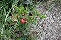 Rosa canina, Rosaceae 06.jpg