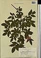 Rosa majalis herbarium (09).jpeg