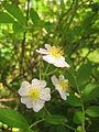 Rosa multiflora flowers.JPG