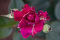 Rose, Intrigue6.jpg