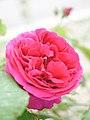 Rose, Violet Queen, バラ, ヴァイオレット クイーン, (20923477780).jpg