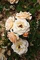 Rose Apricot Ice 20070601.jpg