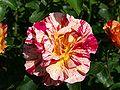 Rose P5303440 CLP.jpg