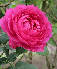Rose Wise Portia バラ ワイズ ポーシャ (5420957991).jpg