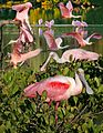 Roseate Spoonbill From The Crossley ID Guide Eastern Birds.jpg
