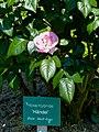 Rosengarten der Stadt Köln Rosa 'Händel' 1.jpg