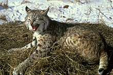 Bobcat Animal Eating