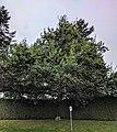 Royal Oak Tree, Surrey, from street.jpg