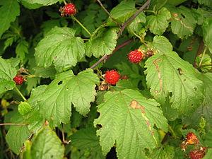 Rubus crataegifolius - Rubus crataegifolius, Aizu area, Fukushima pref., Japan