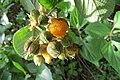 Rubus ellipticus - Yellow Himalayan Raspberry - at Ooty 2014 (1).jpg