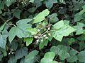 Rubus hillii 1.jpg