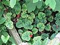 Rubus pectinellus trilobus (20991031261).jpg