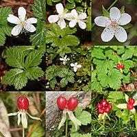Rubus pedatus (Montage s2).jpg