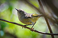 Ruby-crowned Kinglet (Regulus calendula) (17111068946).jpg