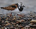 Ruddy Turnstone (15842645826).jpg