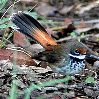 Fantail - The population of rufous fantails from south eastern Australia undertakes an annual migration to northern Queensland and New Guinea