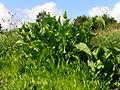 Rumex crispus leaf3 (15087835335).jpg