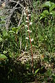 Rundblättriges Wintergrün (Pyrola rotundifolia).jpg