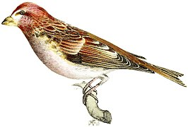 Rural Hours - Crested Purple Finch.jpg