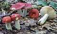 Russula rubescens Beardslee 755820.jpg