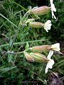 SILENE LATIFOLIA - L'ALZINA - IB-250 (Melandri blanc).JPG