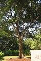 SZ 深圳 Shenzhen 福田 Futian 蓮花山 Lianhuashan Park Dec-2017 IX1 習近平種的樹 The tree planted by Xi Jinping 12.jpg