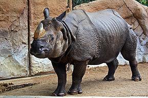 Samec nosorožce indického v Zoologické zahradě San Diego, Kalifornie, USA