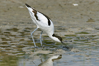 Havergate Island - Adult pied avocet (Recurvirostra avosetta) feeding on mud flats