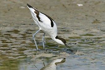 Saebelschnaebler (Recurvirostra avosetta).jpg