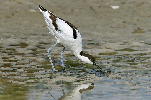 Saebelschnaebler (Recurvirostra avosetta)