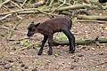Saerbeck - Wildfreigehege Nöttler Berg - Cameroon sheep 04 ies.jpg