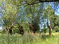 Salix alba pollards1.JPG