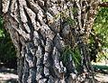 Salix humboldtiana, bark (8644738436).jpg