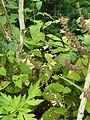 Salvia omeiana Crug Thundercloud - Flickr - peganum.jpg