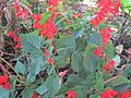 Salvia splendens in Madagascar-01.jpg
