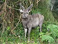 Sambar in Horton Plains National Park 09.JPG