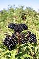 Sambucus ebulus fruit.jpg
