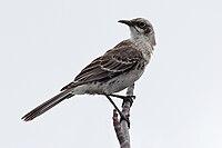 San Cristobal Mockingbird.jpg