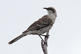 San Cristobal Mockingbird.jpg